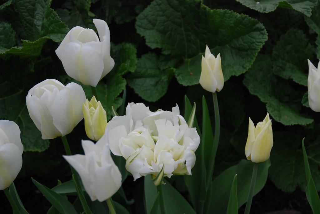 tulpen2010 167